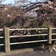 のんちゃんの気ままなポーズ 151-②  桜の花とのんちゃんの散歩