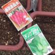 1月23日(Part2)・チンゲンサイとダイコン播種!