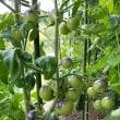 変わり種の中玉トマト