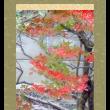 灯台躑躅に雉鳩 (ドウダンツツジにキジバト)