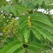「合歓の木」