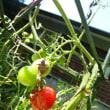 人気のミニトマト