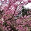 3月17日 そら桜の木に登る