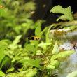 レッドタキシードの稚魚