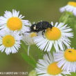 クロハナムグリ(甲虫)
