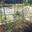 スナップエンドウの苗を植える