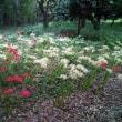 国分寺公園の彼岸花