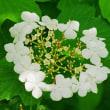 [#3785] カンボク(2)1個の花の全体像