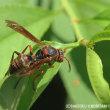 キボシアシナガバチ?