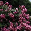 栃木花センターのバラ2018
