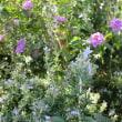 おじからもらったずわいガニと最近の庭の植物