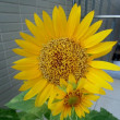 今日の花 向日葵(ひまわり)