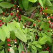 『J・ジュシューが採取した植物』(2)コカノキ