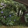 五日市街道、小金井公園近く、紫陽花が咲き始めました