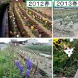 【趣味の園芸】 チューリップが咲いた。〔退職4年間の記録〕