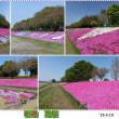 日本一長い芝桜(相模川芝桜ライン)