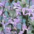 涼しげなブルーの小花!