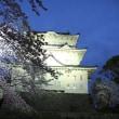 小田原城にて桜を見る