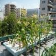 屋上菜園99  (H29.8.01~)