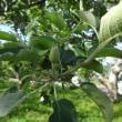 飯田市のリンゴ農家でワーキングホリデー滞在<2>