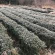 草木平(くさぎだい)ボランティア茶畑での冬支度