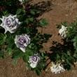 花フェスタ 青バラ