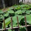 千葉市花園公民館の大賀ハスの様子