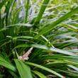 ナンバンギセルとリュウノヒゲ(赤塚植物園)