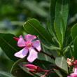 キョウチクトウの花