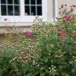 菊の花の季節