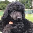 ミディアムプードル ノッコさんの子犬
