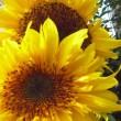 庭の向日葵