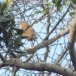 11/19探鳥記録写真(瀬板の森の小鳥たち:ツグミほか)