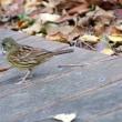 11/18探鳥記録写真(瀬板の森の小鳥たち:ジョウビタキ、アオジ、マミチャジナイほか)