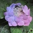 雨に濡れ 七色に 変化して 咲く