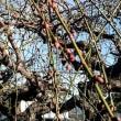 1月22日(火)のつぶやき 黒子ひでゆき市議と一緒に田村をご挨拶。毎回、外に出て激励を頂く皆さんと感謝の一枚。梅の蕾が当に咲こうとしています。蕾の生命力に励まされました。