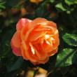 秋のバラ···2
