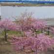 江戸川の河津桜