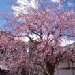 実家の菩提寺のしだれ桜