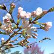 桜が開花しました!