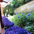 楊谷寺(柳谷観音)の紫陽花