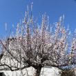 白モクレンの大木
