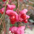 マユミのまっ赤な種子