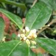ギンモクセイの花は