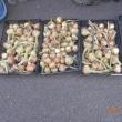 今日の収穫 タマネギ キャベツ ソラマメ グリーンピース ニンジン イチゴ