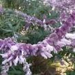 季節の花「アメジストセージ」