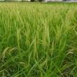 古代稲の生長2017