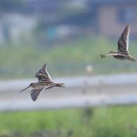 猛禽撮りの名手も狙う、タシギの飛翔写真。