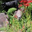 黒猫の庭~彼岸花~