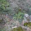 一関市東山町のシダ植物・オニヤブソテツ(鬼藪蘇鉄) 2018年1月16日(火)